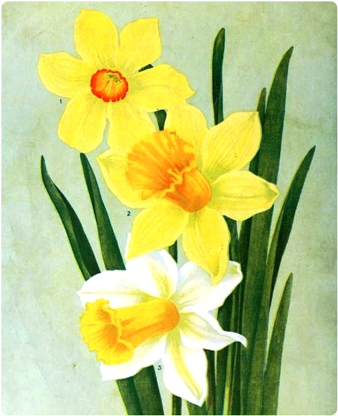Daffodil Illustration on Flee Fly Flown